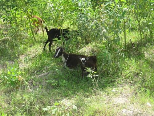 bb goats